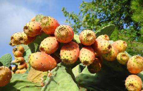 """סברס – פרי הצבר –  super fruit מקומי   ד""""ר גיל יוסף שחר (.M.D)"""